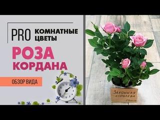 Роза Кордана  -  что делать после покупки, чтобы роза не погибла