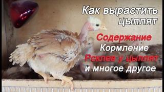 Уход и Содержание цыплят Расклев цыплят Цыплята испанка голошейка