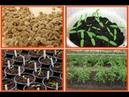 Всё о томатах - посев, всходы, пикировка, посадка в почву, пасынкование, подкормки.