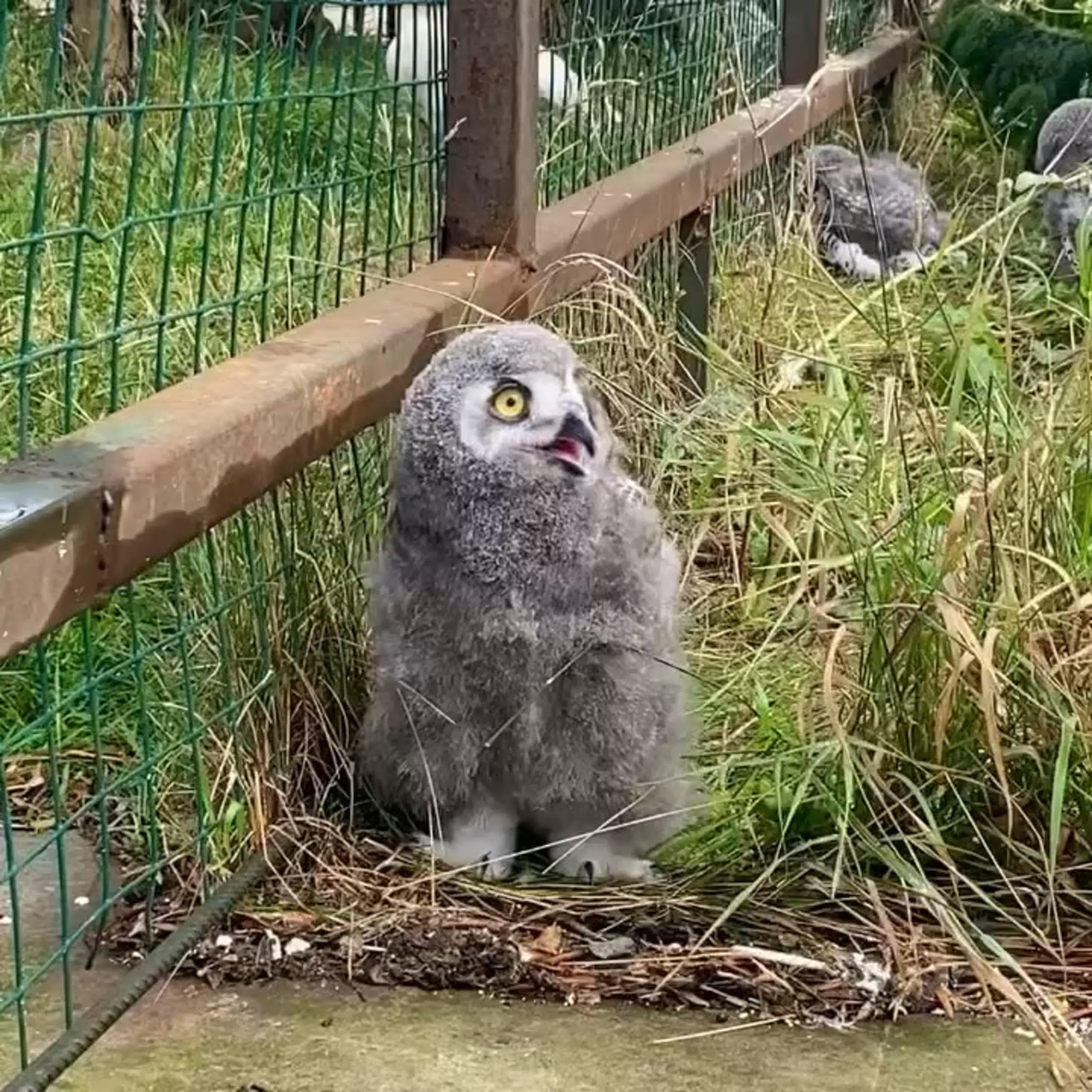 Какая прелесть!Пять птенцов полярной совы появились на