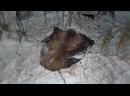 Незаконная охота на лося