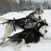 Тур на собачьих упряжках - 3 км.