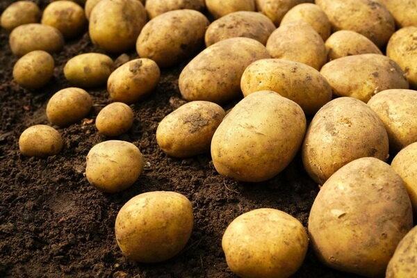 """В Брянской области дефицита картофеля не ожидается https://newsbryansk.ru/fn_761768.html   Из-за неблагоприятной погоды уборка """"второго хлеба"""" до сих... Брянск"""