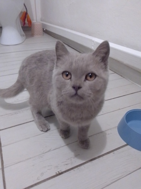 Найден кот породистый чистый видно что домашний? С...