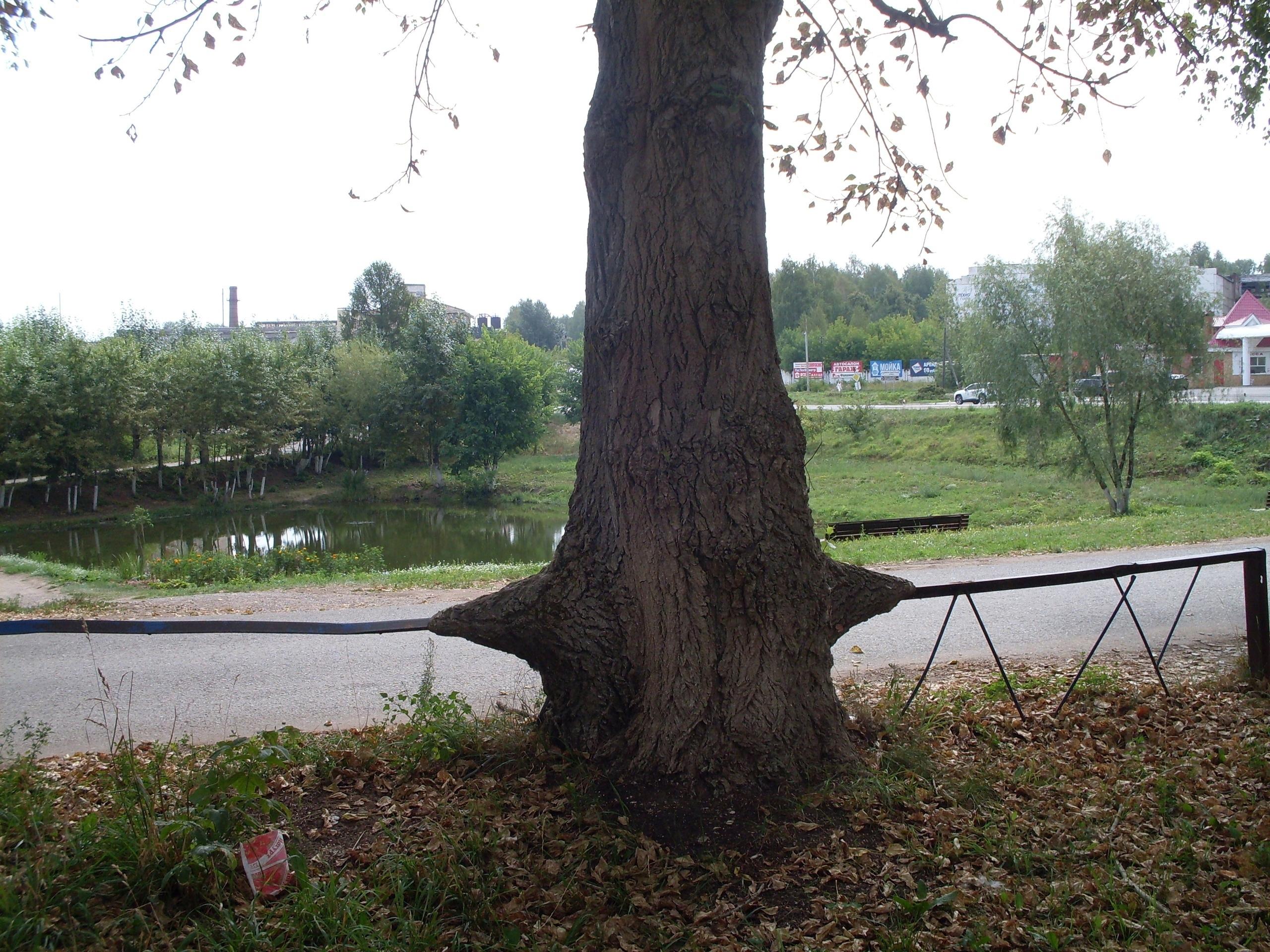 Заборчик этим тополям недалеко от Шиловского пруда