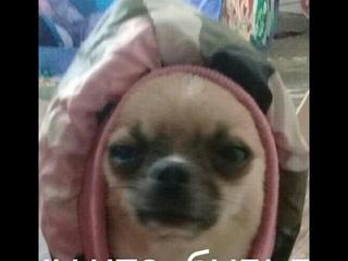 Жизнь без кота не та, жизнь без собаки тоже. funny video about animals. Chiwawa Dog