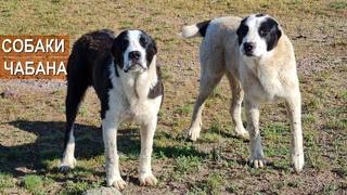 Собаки чабана. Ответы на вопросы о работе собак в отаре. Хозяйство Куаныша Мыктыбаева.