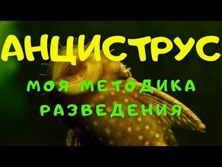 АНЦИСТРУСЫ. МОЯ МЕТОДИКА РАЗВЕДЕНИЯ.
